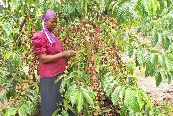 Increase in global coffee prices not yet impressive, experts say
