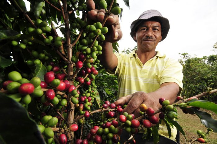 Coffee farmers told to copy Brazilians to increase production