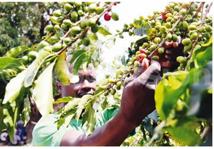 Arabica coffee prices drop
