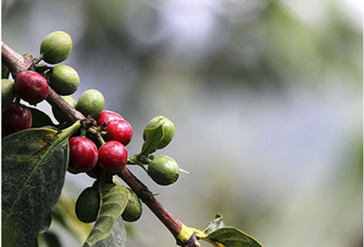 Coffee farmers to get pre-harvest loans