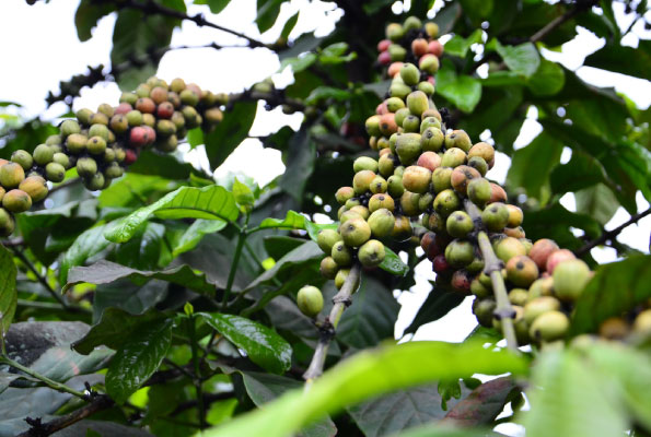 Our coffee growing plan needs revision