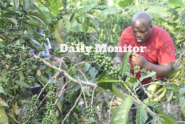 Coffee output boost benefits Rukungiri youth