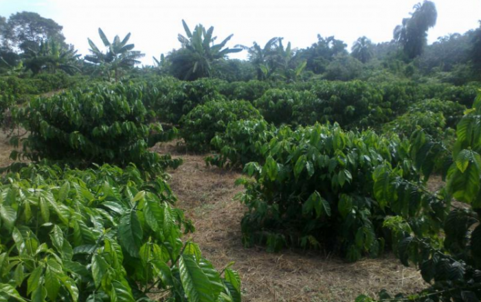 Improving climate resilience for small-scale coffee farming systems in Uganda