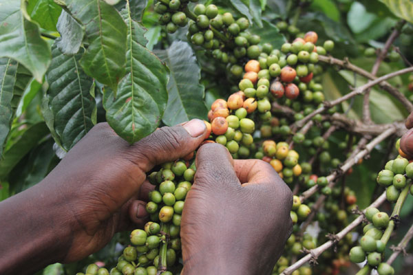 Coffee farming offers Kizza a rich picking