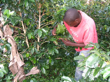 Uganda Coffee Farmers Smiling Again