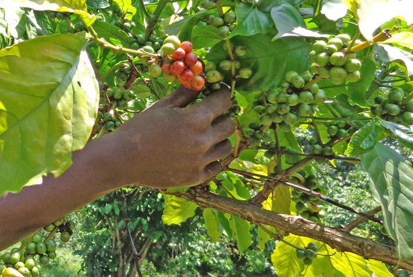 Global coffee prices gain